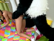 Latina with pigtails put condom on panda's stick and took it inside of shaved pussy 5